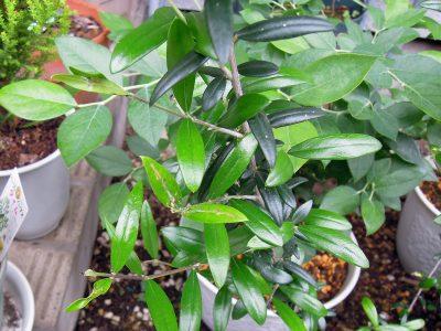 ハマキムシにやられたシルベストリスの葉
