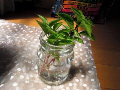 摘芯を兼ねて枝を3本切り、下の葉を落として水にさす