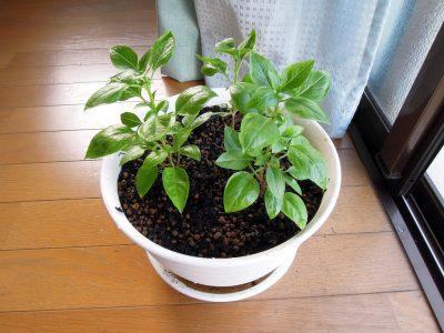 7号の鉢に3本の苗をいっしょに植えた