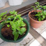挿し木したバジル マジックマウンテンの苗を植え替える