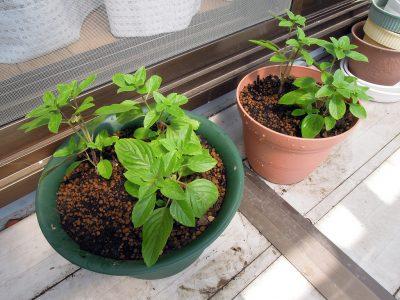 5本の苗を3本と2本に分け、ふたつの鉢に植え替えた