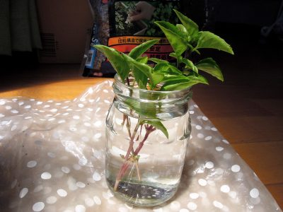 バジル-アジャカの株から枝を3本切り、下の葉を落として水にさす