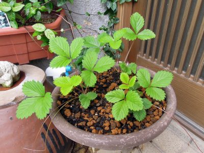 ポットで大きくなったワイルドストロベリーの孫株を鉢に植え替えた