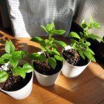 挿し木したバジル アジャカの苗を鉢に植え替える