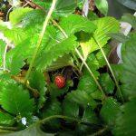 フレーズ・デ・ボアなど4種のワイルドストロベリーを育てる
