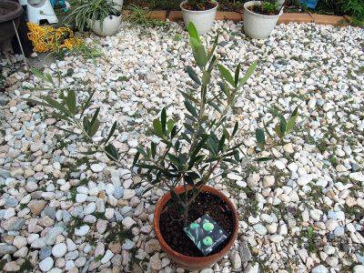 我が家のオリーブの1本、スペイン原産のネバディロブランコ