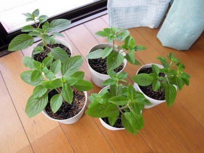 ポットに植えた苗がだいぶ大きくなってきた