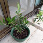 オリーブのネバディロブランコの根がコガネムシの幼虫に食われる