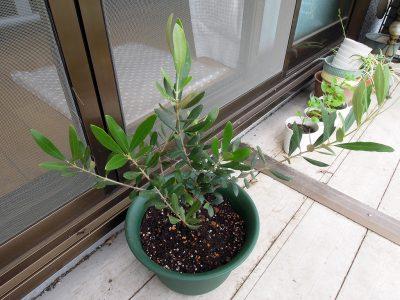 大きめの鉢に植え替えたネバディロブランコ