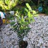 オリーブの葉をスズメガの幼虫に食い荒らされる
