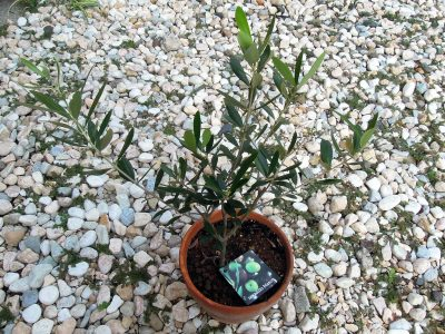 コガネムシの幼虫に根を食われていたネバディロブランコ