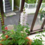 あの花屋でまた2種類のハーブを購入、その1:ストロベリーミント