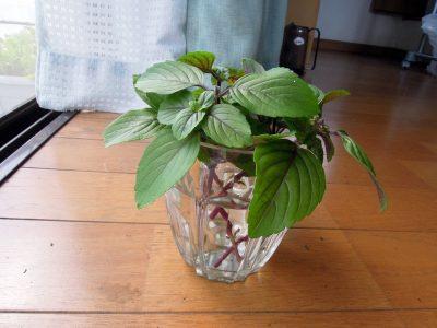 マジックマウンテンの株から5本の枝を切り、下の葉を落として水にさす