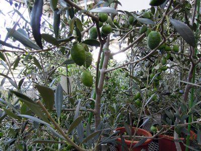 特大の実をつけたチリ原産のアザパ