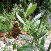 マンザニロの葉でツマグロヒョウモンが雨宿り?
