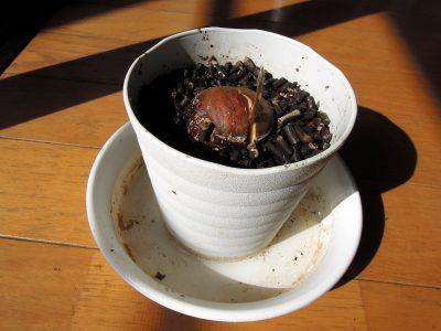 ポットで栽培していたアボカドからやっと芽が出る