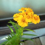 ミントマリーゴールドの挿し木と小さな黄色の花