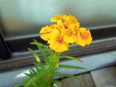 ミントマリーゴールドの花