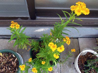 小さな黄色の花を咲かせたミントマリーゴールド