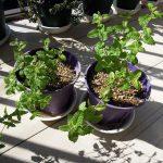 ストロベリーミントを挿し木で殖やし、親株は地植えに