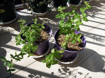 植え替えてから1ヶ月でさらに成長したストロベリーミント