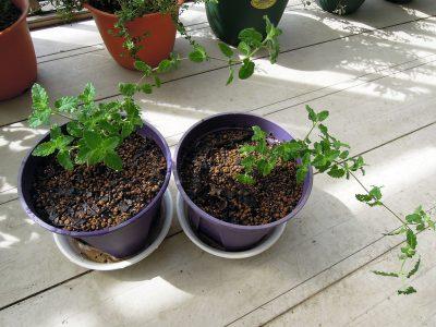 ポットから鉢に植え替えたばかりのストロベリーミント