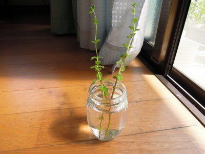 水に挿しておいて発根したストロベリーミントの枝