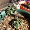 虫にやられたグリークオレガノの挿し木と冬越し