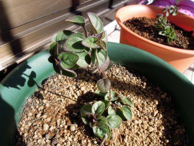 秋に挿し木をし、冬越しするグリークオレガノの苗