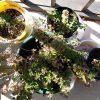 匍匐性のオレガノ シュープリームを圧条法(茎伏せ)で増やす