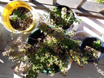 圧条法(茎伏せ)で新しい芽が出てきたオレガノシュープリーム