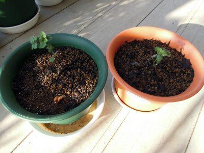 挿し木用のポットから鉢に植え替えたばかりのグリークオレガノの苗