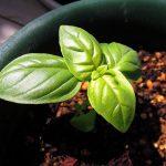 フルール・ジャルダン弘明寺店でスイートバジルの苗を購入し、鉢に植え替える