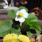 花を咲かせ、2017年の春を迎えたワイルドストロベリー
