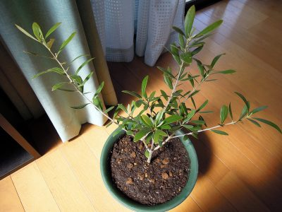 昨年の夏にコガネムシの幼虫に根を食われたものの、無事に春を迎えたネバディロブランコ