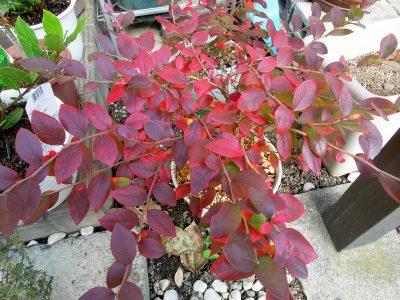 秋(2016年)に紅葉したブルーベリー