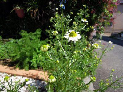 同じく鉢植えのジャーマンカモミールの花