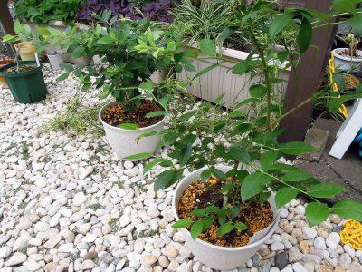 ガーデンセンター横浜で購入した2種のブルーベリー