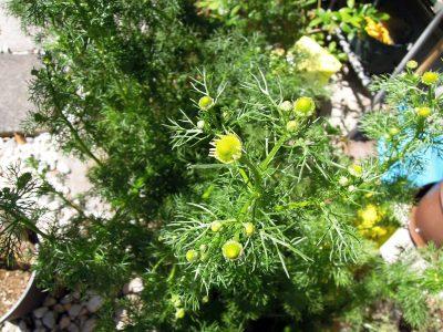 プランターのジャーマンカモミールも開花までもうひと息というところ