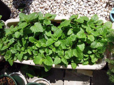 庭のプランターに植えたレモンバーム