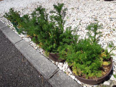 庭の鉢植えのジャーマンカモミール