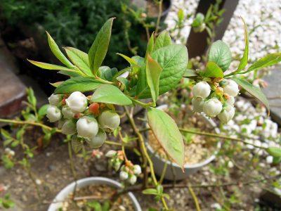 春を迎えたブルーベリーのジョージアジェムの花