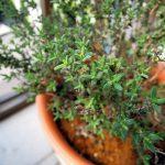 タイム ファウスティノイの挿し木と冬越しした親株の植え替え