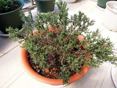 ひと回り大きな鉢に植え替えたタイム ファウスティノイ