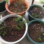 圧条法(茎伏せ)で殖やしたタイム タボールの子株を鉢に植え替える