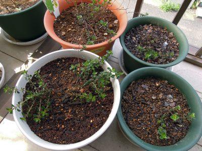 鉢に植え替えたタイム タボールの子株