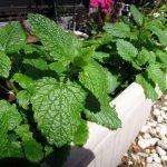 秋蒔きで種から育てていたレモンバームが春を迎えて大きくなってきた