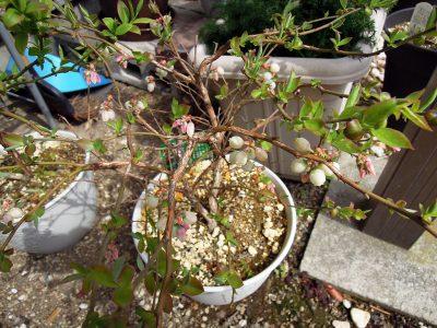 春になって花を咲かせたブルーベリーのガルフコースト