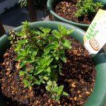 圧条法(茎伏せ)で増やしたオレガノ シュープリームの子株を鉢に植え替え、親株は地植えに