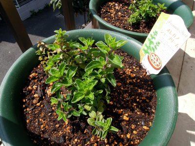 大きめの鉢に植え替えたオレガノ シュープリームの子株